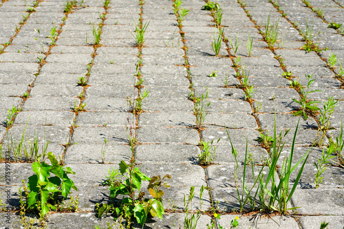 Weeds growing between brick paving stones in untreated cobbled area Canvas Print