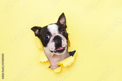 The head of the dog breed Boston Terrier peeking through the hole in yellow paper.