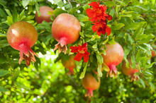 Ripening Pomegranates With Pomegranate Flowers In Garden.