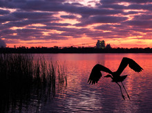Great Blue Heron Flies From Th...