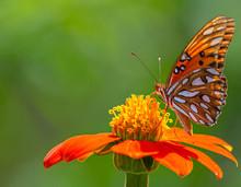 Gulf Fritillary Butterfly On Mexican Sunflower