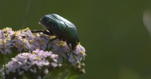 Shiny Green Rose Chafer Beetle...