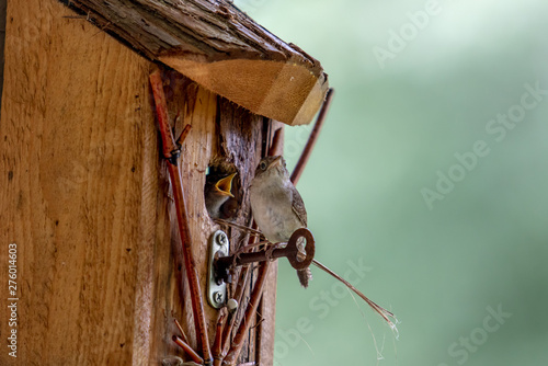 Valokuvatapetti Baby Wrens in Birdhouse Being Fed by Parent.