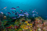 Fototapeta Do akwarium - Schools of Creole Wrasse in the beautiful coral and blue waters of the Caribbean off the island of Grenada.