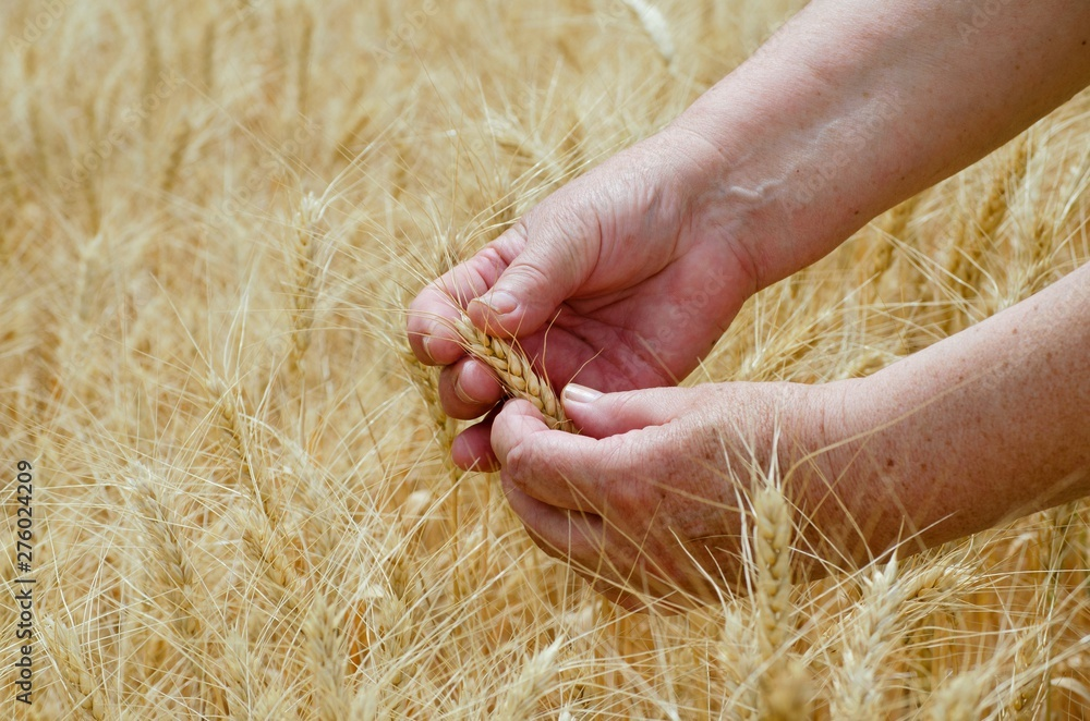 Fototapety, obrazy: Female busy hands hold ears of rye wheat on an agricultural field, a symbol of the country