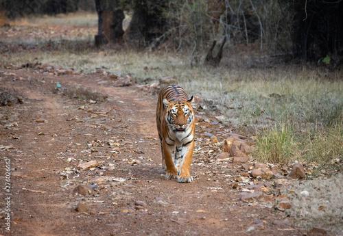 Poster Amsterdam Wild Bengal Tiger in Jungle Preserve Safari Walking Towards Camera