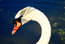 Close Up On A Beautiful Swan In The Sun. With A Nice Shadow Of Foliage On The Head. Blue Water Bokeh On Background