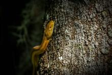 Wild Yellow Rat Snake Climbing...