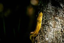 Wild Yellow Rat Snake Climbing A Tree