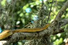 Yellow Rat Snake Climbing A Tree Branch