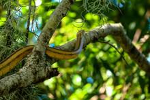 Yellow Rat Snake Climbing A Tr...