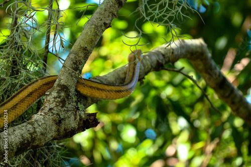 Canvas Prints Roe Yellow Rat Snake Climbing a Tree Branch
