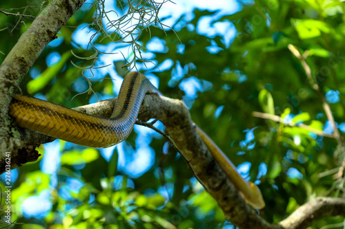 Photo Stands Roe Yellow Rat Snake Climbing a Tree Branch