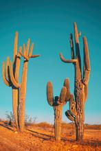 Desert Saguaro Cactus - Family Quite Funny Cactus Tree