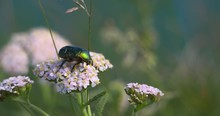 Rose Chafer Beetle Shiny Green...