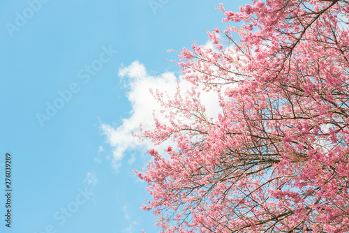 Poster de jardin Fleur de cerisier Beautiful cherry blossom flowers blooming in the winter season in Northern region of Thailand with beautiful sky background.