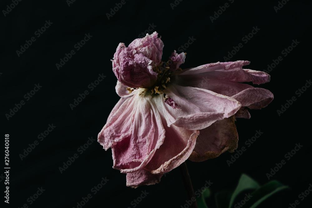 Fototapeta Beautiful wilted pink peony on black background. Studio shot