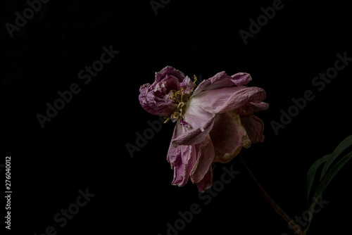 Fotografía  Beautiful wilted pink peony on black background. Studio shot