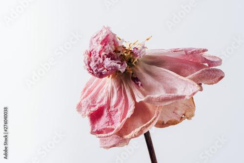 Fototapeta Beautiful wilted pink peony on white background. Studio shot