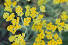 Helichrysum Arenarium, Dwarf E...