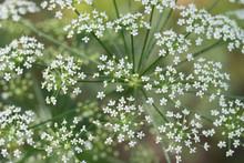 Conium Maculatum, Hemlock White Flowers  Macro