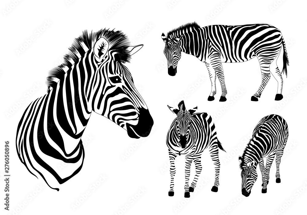 Fototapety, obrazy: Graphical set of zebra. Wild animal texture design. Striped black and white. Illustration isolated on white background.