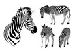 Graphical set of zebra. Wild animal texture design. Striped black and white. Illustration isolated on white background.