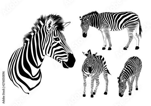 Obraz Graphical set of zebra. Wild animal texture design. Striped black and white. Illustration isolated on white background. - fototapety do salonu