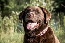 Eine Labrador Retriever Hündi...