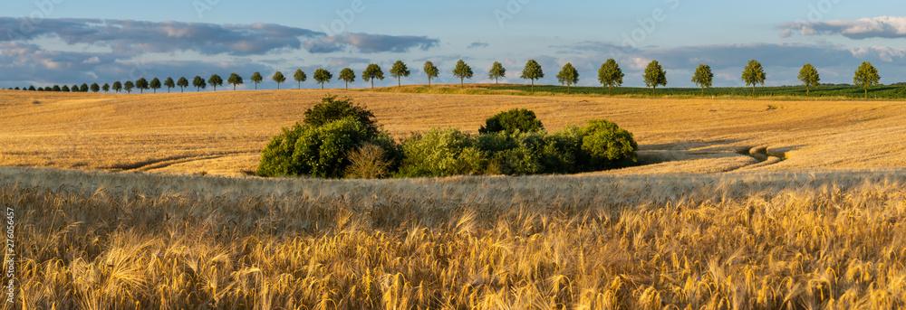 Fototapety, obrazy: field of mature barley lit by the sunset sun