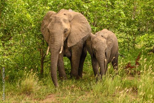 Photo  Wild african elephant close up, Botswana, Africa