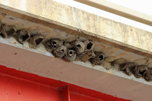 Cliff Swallow Nests Made Of Mu...