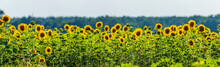 Field With Blooming Sunflowers At Sunset
