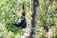 Gibbon In The Wild ,Khao Yai N...