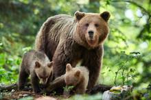 Wild Brown Bear (Ursus Arctos)...