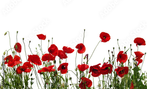 red poppies on white - 276083837