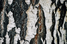 White Nature Background Of Birch Bark Close-up. Plane Of Birch Trunk Surface. Tree Textured Backdrop. Detailed Natural Texture Of Birch Tree Stem. Abstract Background.
