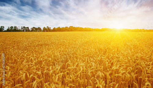 Montage in der Fensternische Honig Golden wheat field with blue sky