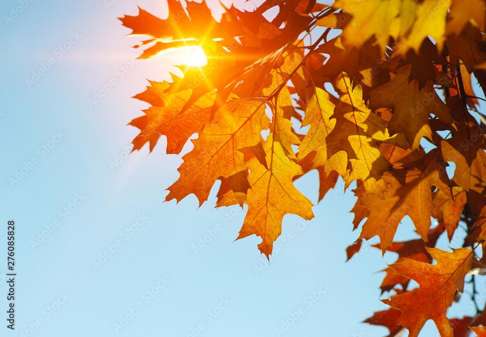 Fototapeta Autumn leaves on the sun.