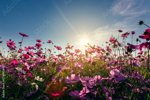 Fotomural  View cosmos flower and sky sunset, natural background.