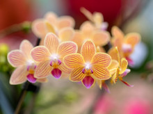 Close Up Of  Beauty Colorful Orchid Flower