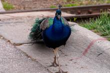 Peacock Strutting It's Stuff In The Street