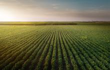 Soybean Field Rows