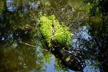 Junge Triebe Auf Einem Baumstück Im Teufelssee (Treptow-Köpenick)