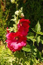 Die Bauernrosen In Voller Blüte