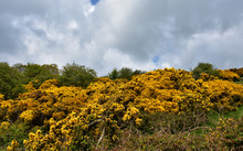 Stunning Golden Landscape With Flowering Golden Gorse Bushes
