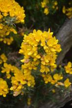 Stunning Up Close Yellow Gorse Bush Flowering