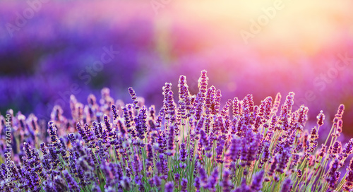 Fotobehang Lavendel Levender flowers on the field at sunset.