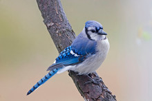 Beautiful Blue Jay, Cyanocitta...