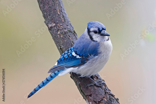 Fotografiet Beautiful Blue Jay, Cyanocitta cristata
